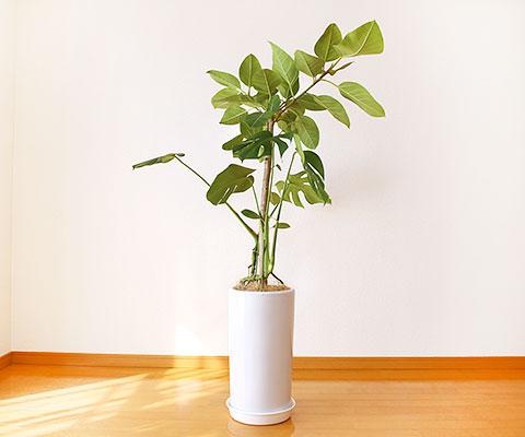 観葉植物 8号鉢