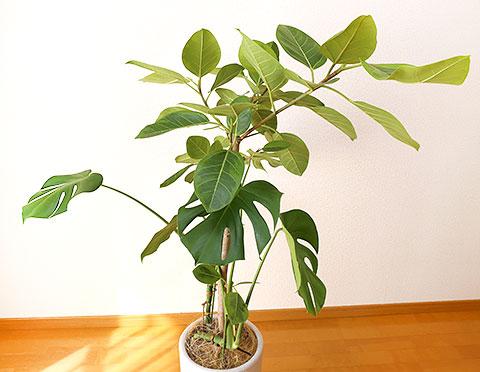 観葉植物 8号鉢 アップ