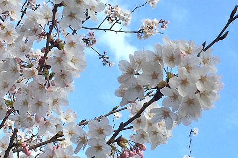 2015年桜満開